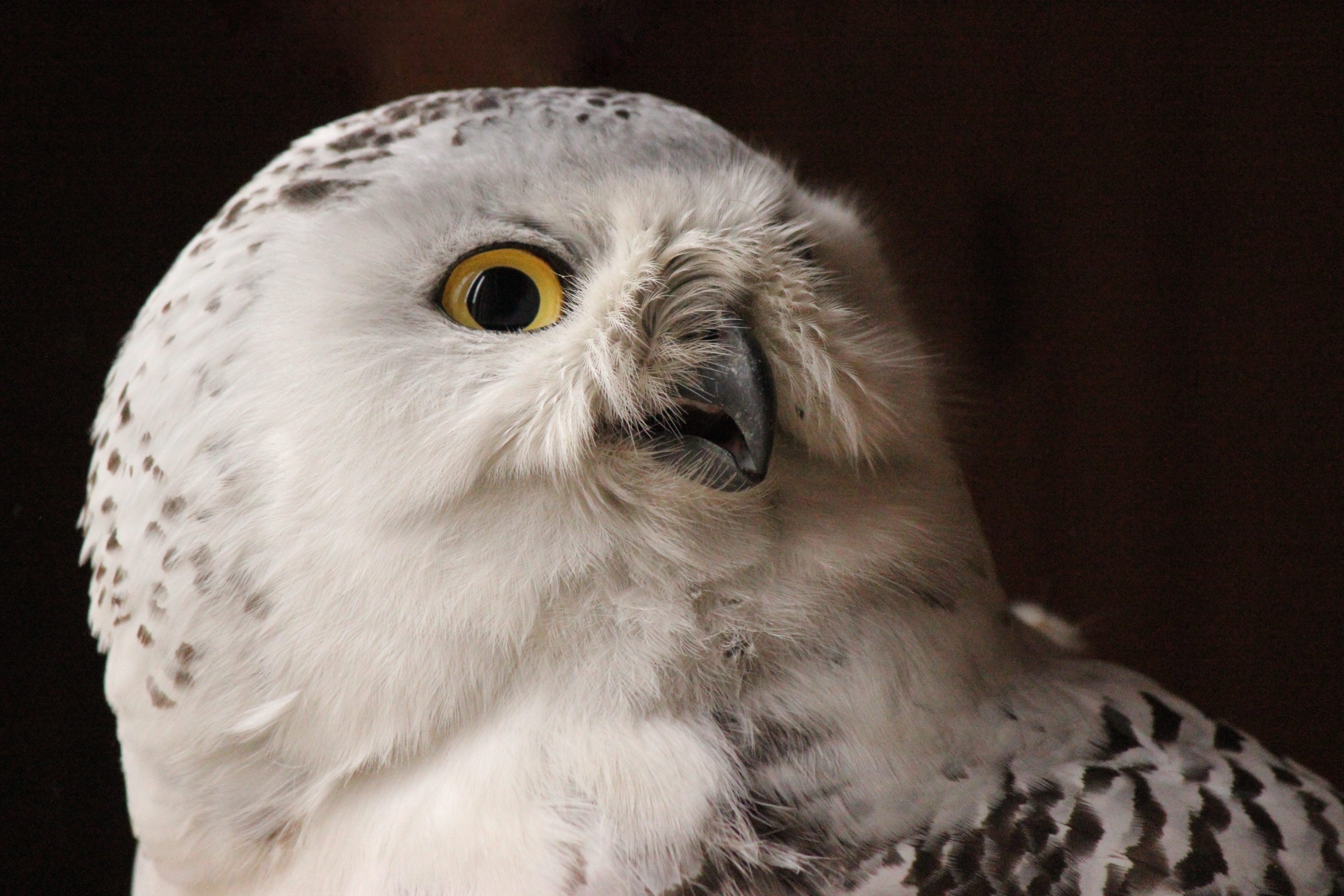Snowy Owl Released | Red Creek Wildlife Center